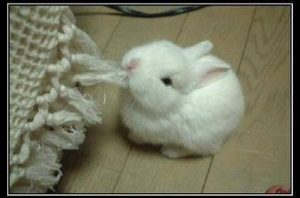 carpet cleaning bunny